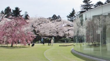 金沢の桜(広坂通り~21美~犀星のみち~W坂)